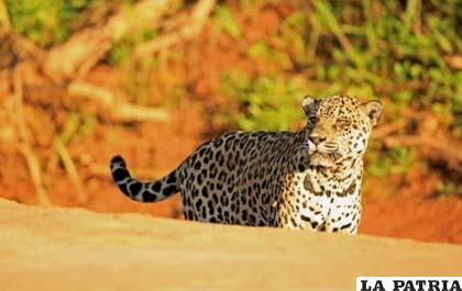 Una jaguar en el Parque Nacional Madidi