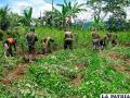 Erradicación de plantaciones de coca en Nor Yungas /radioemanueltocache.blogspot.com