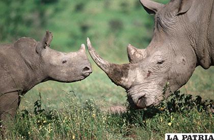 Un imponente rinoceronte y su cría