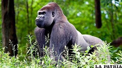 Una de las especies de gorila de montaña