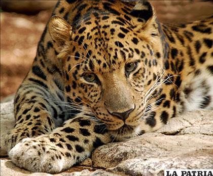 Un  bello leopardo que habita en Sijote-Alin