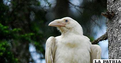 Un ejemplar de extraño cuervo albino