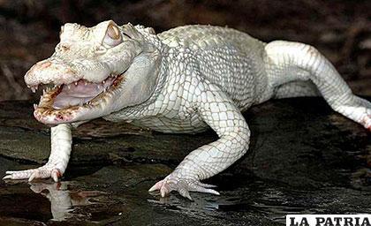 Un cocodrilo blanco, parece una especie de fantasía