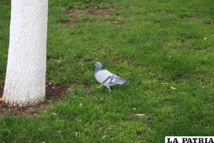 Las palomas son seres vivos que ponen en riesgo la salud de los habitantes /LA PATRIA