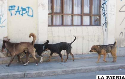 Perros vagabundos son potenciales transmisores de rabia canina