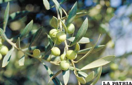 El olivo tiene como fruto a la aceituna apetecida en todas las mesas