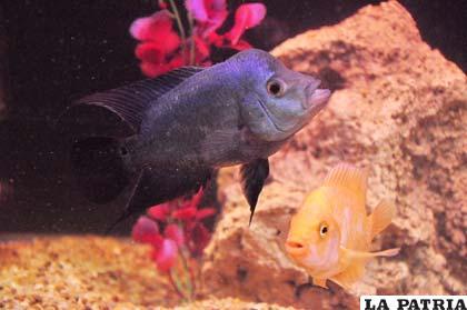 Los flower horn son peces diferentes que atraen la suerte - Los peces traen mala suerte ...
