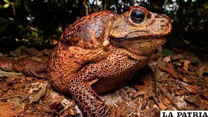 Es una rana del género Oreobates, de tres a cuatro centímetros de largo /AMAZONAWS.COM