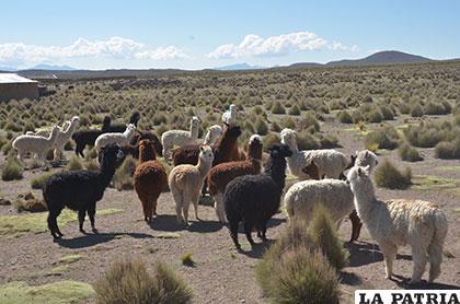 Se espera que la sequía no ocasione mayores desastres en el altiplano