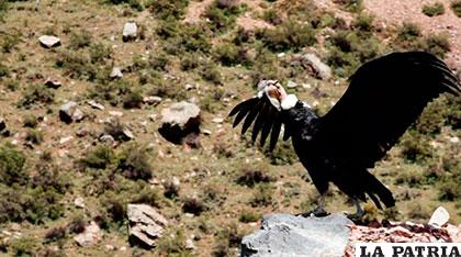 Una de las aves voladoras más grandes del mundo que fueron liberadas