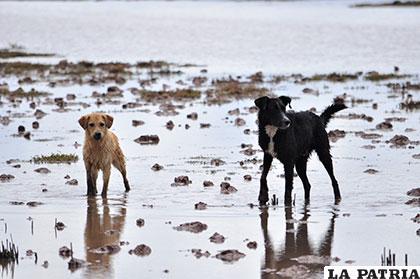 Preocupa registro de casos por rabia canina en Oruro /Foto referencial/Archivo