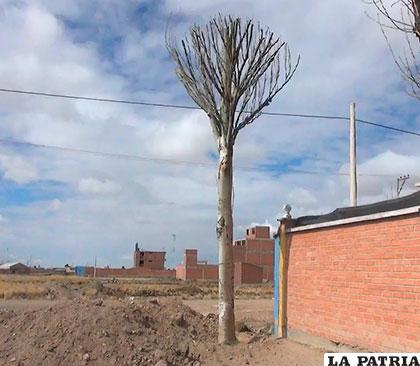 Este fue el árbol más grande q fue trasladado. Apenas comienza a rebrotar