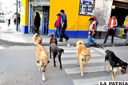 Los casos de rabia canina en el municipio superaron los registrados el 2016 /Archivo