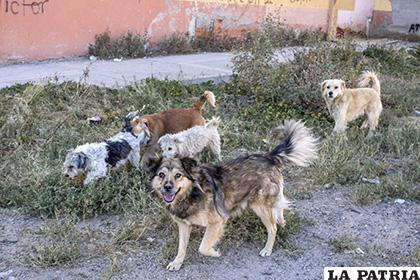 Autoridades del Cemzoor quieren reducir la cantidad de perros que existen en las calles /LA PATRIA /ARCHIVO
