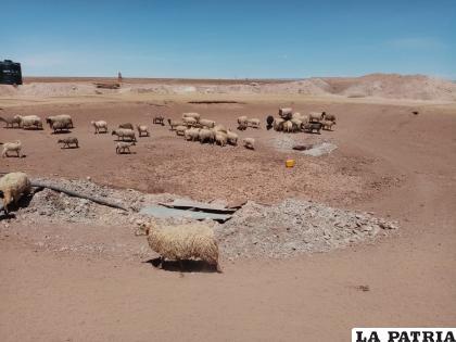 Ovejas buscan comida y agua para subsistir /Comunidad Sunavi