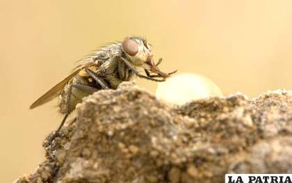 """La Dermatobia hominis, conocida como """"mosca de la muerte"""""""