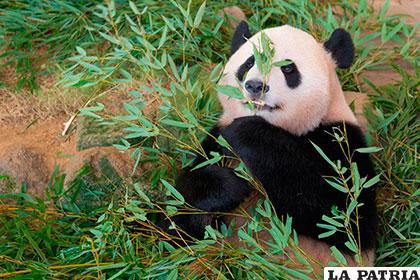 Declaran en peligro al santuario de pandas gigantes de Sichuan