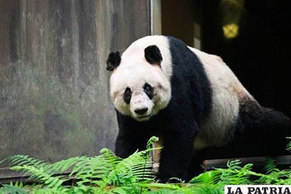 Jia Jia tenía 38 años, lo equivalente a 114 años para una persona