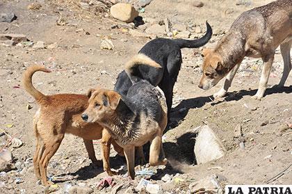 En todo el departamento de Oruro se registraron 112 casos de rabia canina