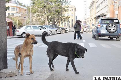 Califican de favorable la disminución de ataques de canes en Oruro /LA PATRIA /ARCHIVO