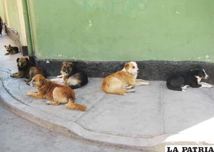 Es recomendable cuidar a las mascotas, que pueden ser confundidas con perros callejeros
