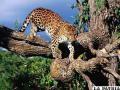 El leopardo, uno de los felinos más poderosos