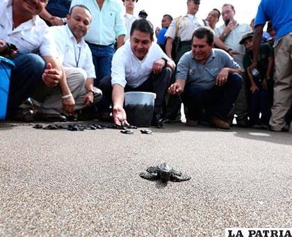 Las tortugas fueron liberadas cerca de las playas de Cedeño