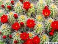 Flores de cactus están entre las más agradables a la vista