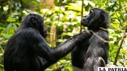 Los bonobos salvajes muestran síntomas de vista cansada a partir de los 40 años