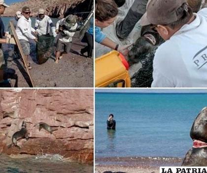 El lobo marino de California es una especie sujeta a protección especial