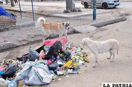 Canes vagabundos en medio de basura