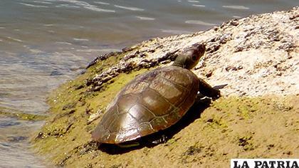 Además de la tortuga Arrau otras especies también empezaron a aparecer en las playas protegidas y en áreas circundantes / REPUBLICA.COM