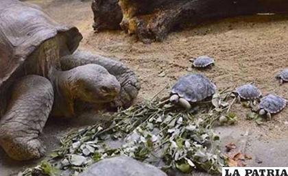 Los resultados mostraron que las poblaciones de tortugas gigantes se están recuperando por completo / azure.com