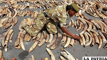 Parte de los 55 kilos de marfil que fueron decomisados / NANDUTI.COM.PY