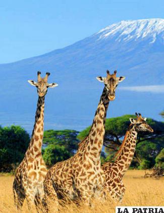 Las jirafas redujeron considerablemente su población /Thinkstock