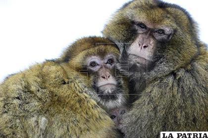 Una pareja de macacos de Berbería protegen del frío con sus cuerpos a una cría de 8 meses (c) /EFE/Archivo