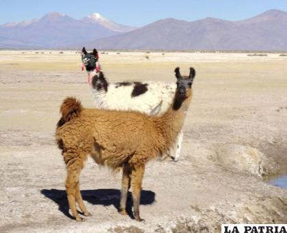 El ganado camélido sufre consecuencias del cambio climático /eldiario.net