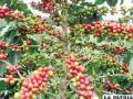 Cambio climático, un mal trago para el café colombiano