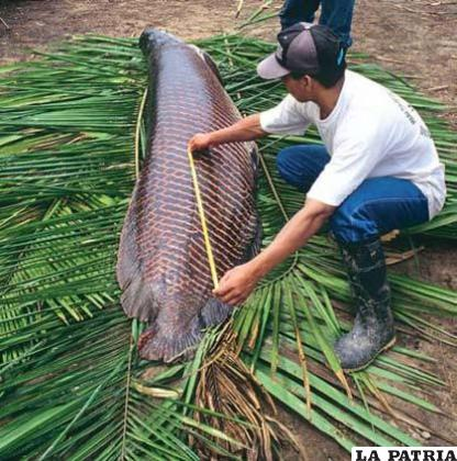 El paiche mide aproximadamente de dos a cuatro metros de largo y proviene del Perú