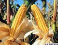 Producción de maíz en Bolivia pretende ser mejorada /estrategiaydesarrollo.wordpress.com