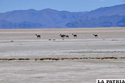 Vicuñas pasean donde antes era el lago