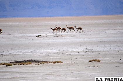 Según el Presidente Morales, el lago siempre tuvo ciclos de secado y los animales llegaban caminando hasta isla de Panza