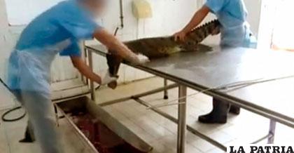 El cuero de estos animales se utiliza para hacer bolsos de lujo